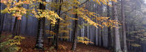 Fall forest panorama by Intensivelight Panorama-Edition