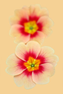 Peachy Poly by Brian Haslam