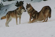 Wolf pack in the snow by Intensivelight Panorama-Edition