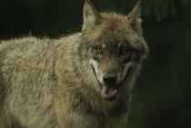 Wolf with open jaws von Intensivelight Panorama-Edition
