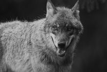 Gray wolf - monochrome von Intensivelight Panorama-Edition