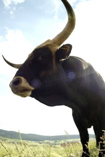 Black bull on a meadow von Intensivelight Panorama-Edition