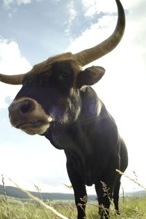 Angry black bull von Intensivelight Panorama-Edition
