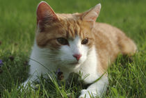 Cat on the lawn by Intensivelight Panorama-Edition