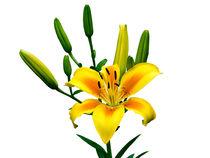 Gelbe Lilie mit Blühte und Knospen, freigestellt von Ulrich Missbach