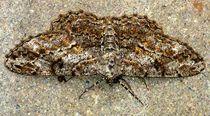 2014-06-07-my-garden-animals-p1080078-exposed-moth