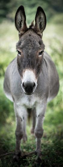 Donkey - Esel I von Ruby Lindholm