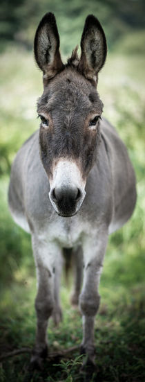 Donkey - Esel I by Ruby Lindholm