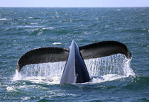 Huge Humpback by timbo210
