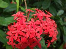 Blume-3-bali