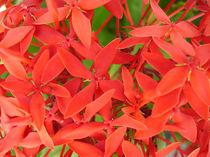 Blume-5-bali
