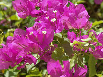 Blume-6-bali