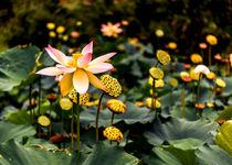 Lotuses by Jon Woodhams