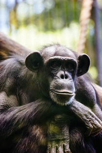 Thinking Chimp by Patrycja Polechonska