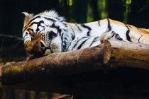 Sleeping Tiger von Patrycja Polechonska