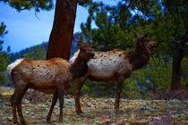 Elk in Still Life by Ellen Bollinger