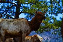 Elk in the Wild by Ellen Bollinger