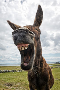 Laughing-donkey