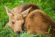 Baby Moose by Patrycja Polechonska