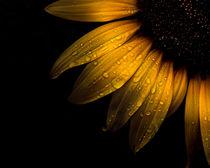 Backyard Flowers 28 Sunflower by Brian Carson