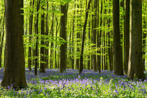 Bluebell flowers by Martin Beerens