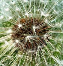 Dandelion Seeds by Fliss Clooney