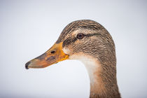 duck portrait II von moxface