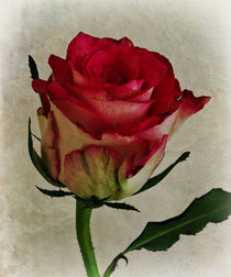 Rose by David Pringle