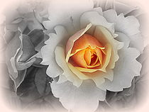 Mystic Roses ~ by bebra von bebra