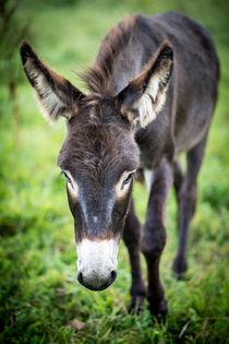 Donkey - Esel IV von Ruby Lindholm