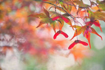 Japan-ahorn-textur