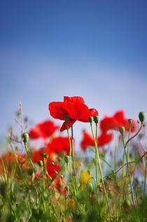 Red Poppies by AD DESIGN Photo + PhotoArt