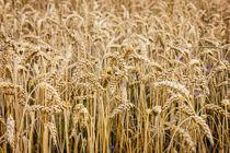 Wheat von Patrycja Polechonska