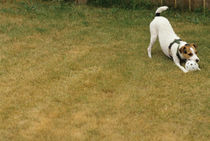 Jack Russell Terrier with whiffle ball by Jim Corwin