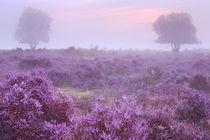 Heathland in full bloom at sunrise by Sara Winter