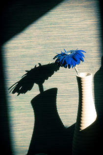 Blue Gerbera von cinema4design