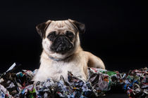 Mops by Martina Raab