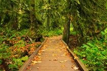 Path through lush temperate rainforest von Sara Winter