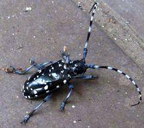 Kamikiri-mushi (Japanese Paper-Cutter Beetle) by Richard H. Jones