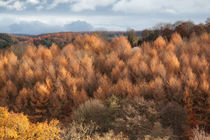 Autumn Larch by David Tinsley