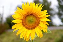 Sonnenblumen-5640