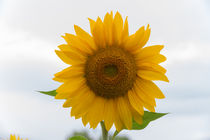 Sonnenblumen-5643