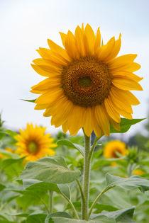 Sonnenblumen-5646