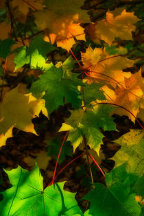 Autumn Sycamore by David Tinsley