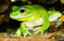 White-lipped Tree Frog Queensland Australia by mbk-wildlife-photography