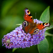 Peacock Butterfly on Buddleia. von Colin Metcalf