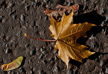 Sycamore-leaf-and-seeds