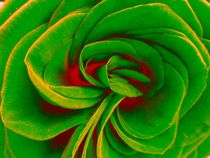Red and green rose by Amanda Elizabeth  Sullivan