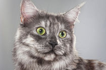 Maine Coon Cat by Martina Raab