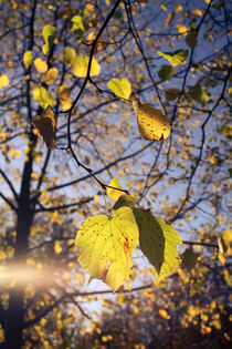 Leaves and light by sylbe